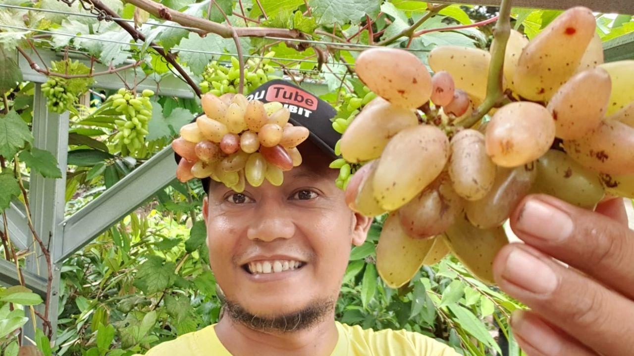 Usaha Pembibitan buah anggur